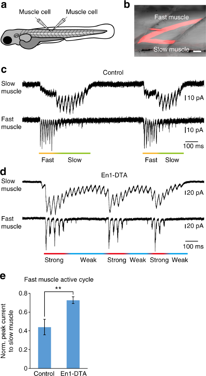 Regulation of locomotor speed and selection of active sets