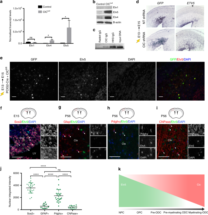 Capicua regulates neural stem cell proliferation and lineage