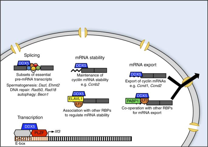 DDX5 plays essential transcriptional and post-transcriptional roles