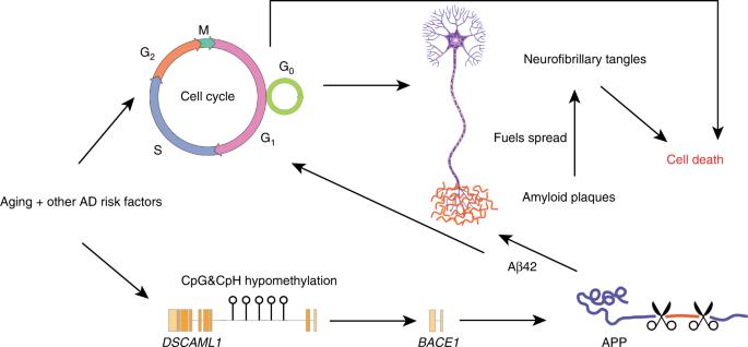 Epigenetic dysregulation of enhancers in neurons is