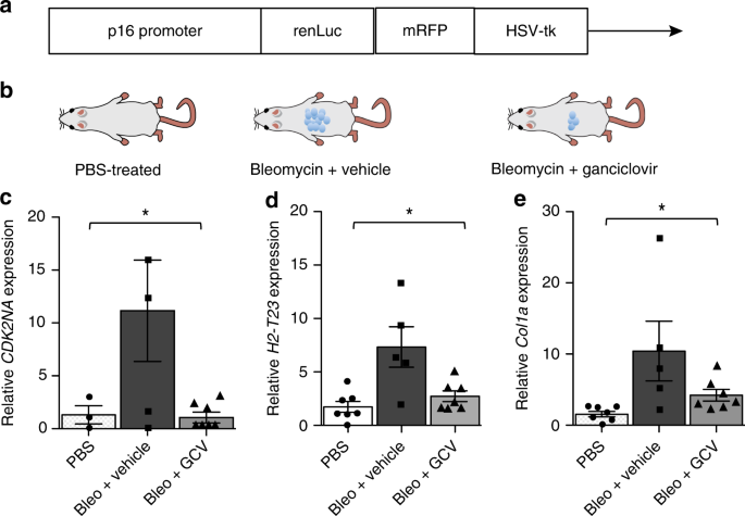 Senescent cells evade immune clearance via HLA-E-mediated NK and CD8