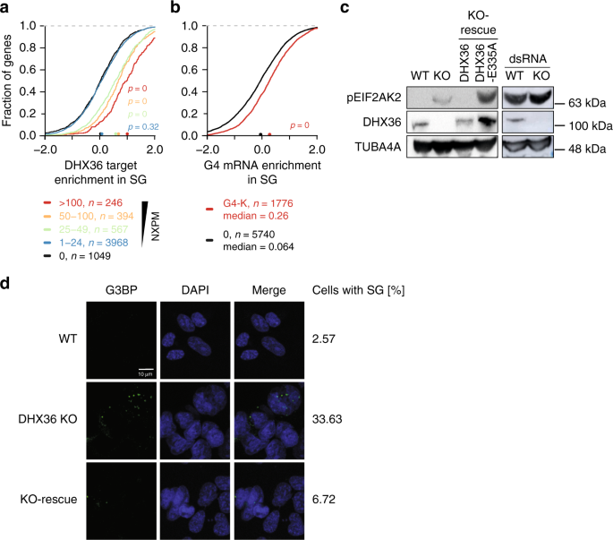 DHX36 prevents the accumulation of translationally inactive mRNAs