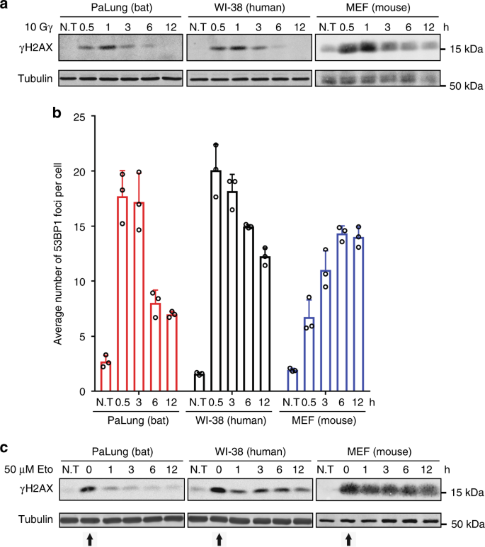 Abcb1 Protects Bat Cells From Dna Damage Induced By