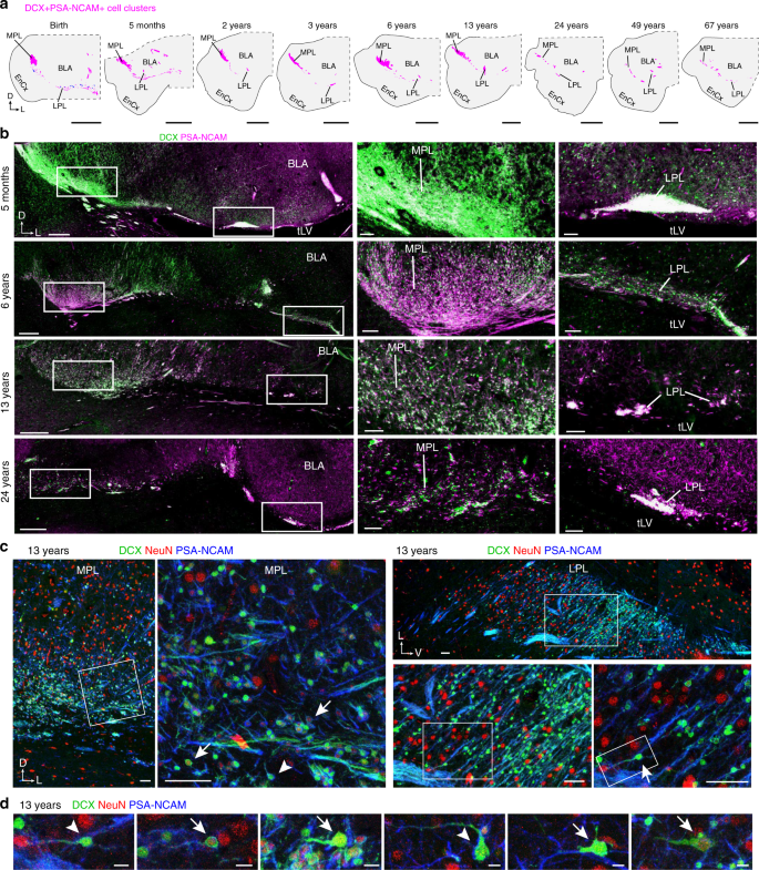 Immature excitatory neurons develop during adolescence in the human