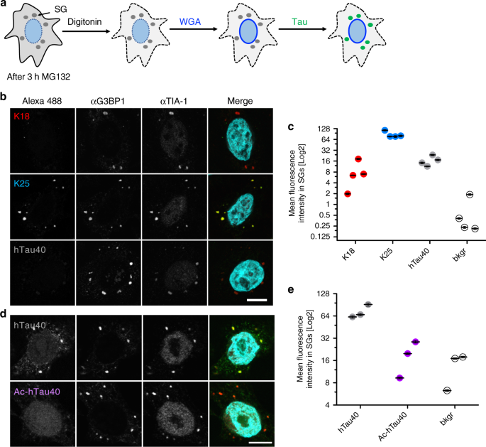 influence of tau domains and lysine acetylation on sg association of tau  a schematic  diagram illustrating the semi-permeabilized cell assay