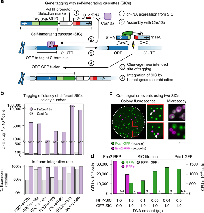 Pooled clone collections by multiplexed CRISPR-Cas12a-assisted gene