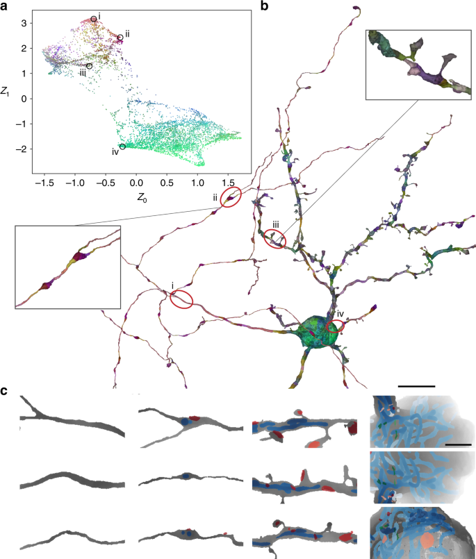 Learning cellular morphology with neural networks | Nature