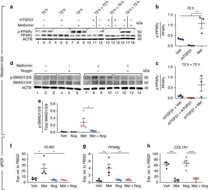 Metformin induces lipogenic differentiation in myofibroblasts to