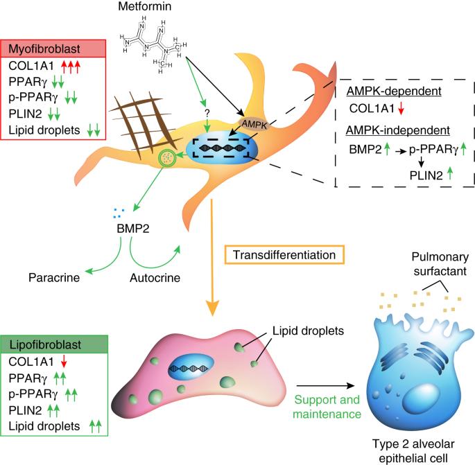 Metformin induces lipogenic differentiation in