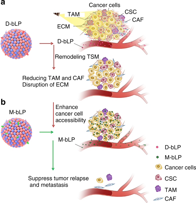 Bioinspired lipoproteins-mediated photothermia remodels tumor stroma t