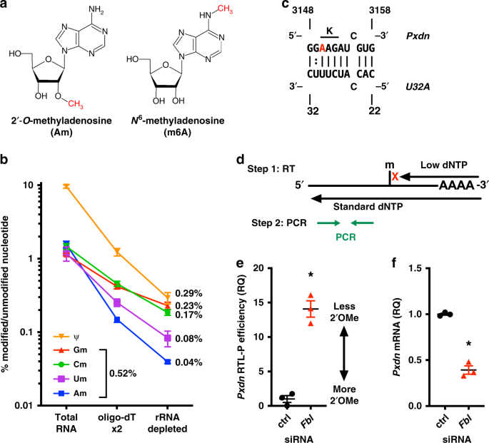 Modification of messenger RNA by 2′- O -methylation regulates ge