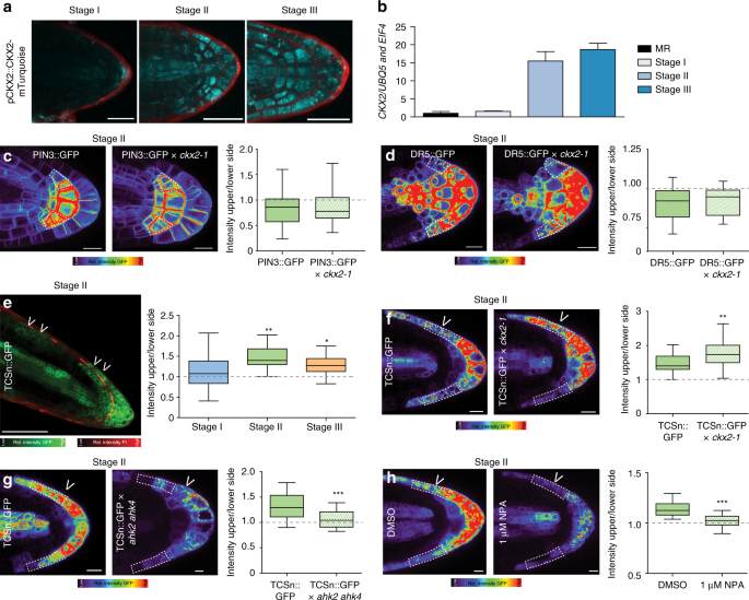 Cytokinin functions as an asymmetric and anti-gravitropic signal in