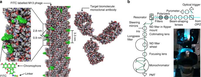 Virus lasers for biological detection
