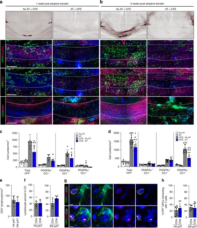 Oligodendrocyte precursor cells present antigen and are cytotoxic targ