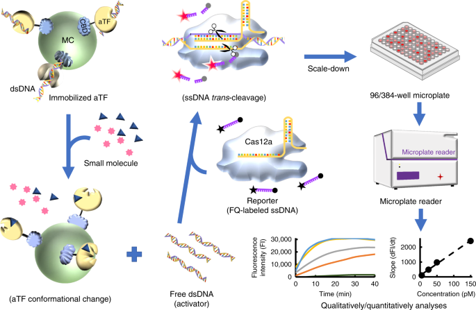 A CRISPR-Cas12a-derived biosensing platform for the highly sensitive d
