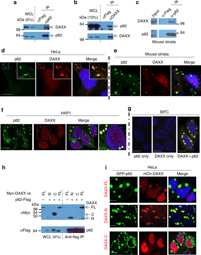 Cytoplasmic DAXX drives SQSTM1/p62 phase condensation to activate Nrf2
