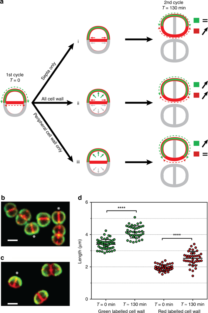 Cell morphology and nucleoid dynamics in dividing