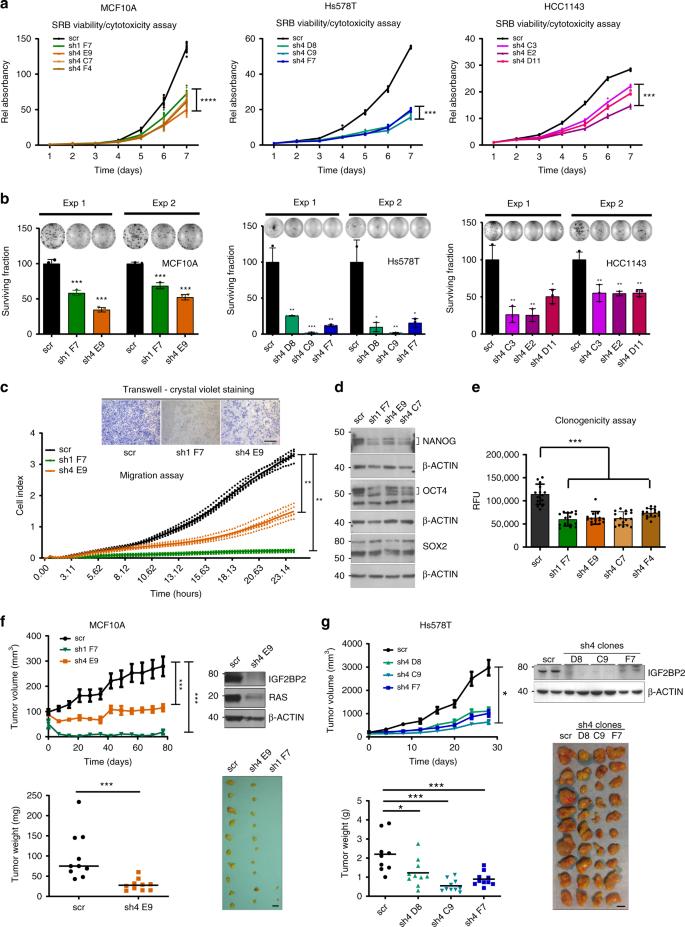 The transcribed pseudogene RPSAP52 enhances the oncofetal