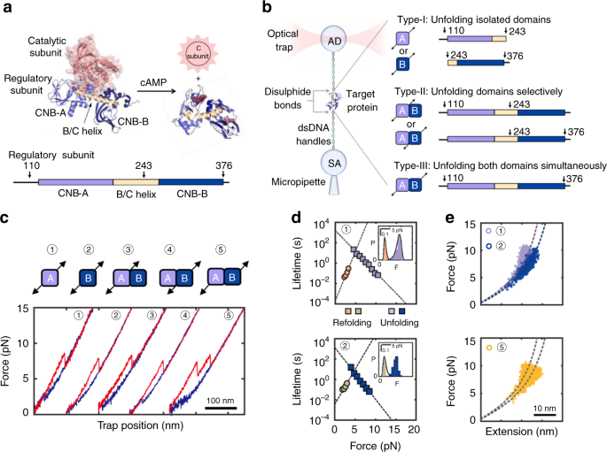Activation of PKA via asymmetric allosteric coupling of structurally c