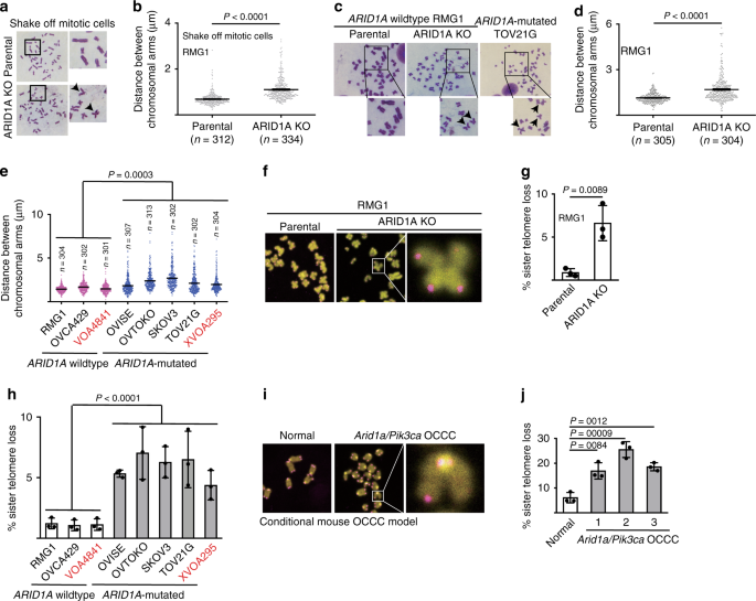 ARID1A promotes genomic stability through protecting telomere cohesion