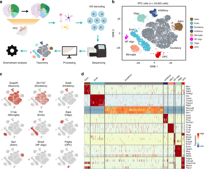 Cell type-specific transcriptional programs in mouse prefrontal cortex