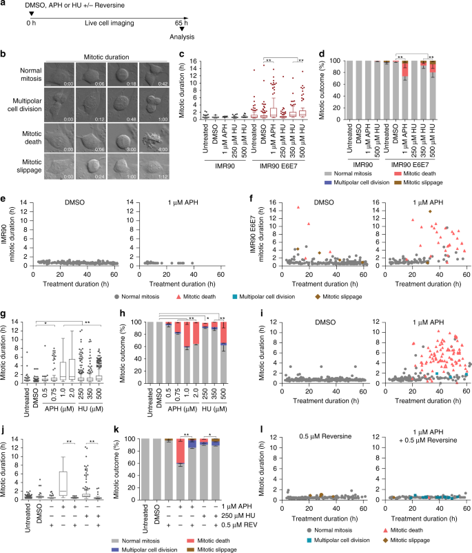 Replication stress induces mitotic death through parallel pathways reg