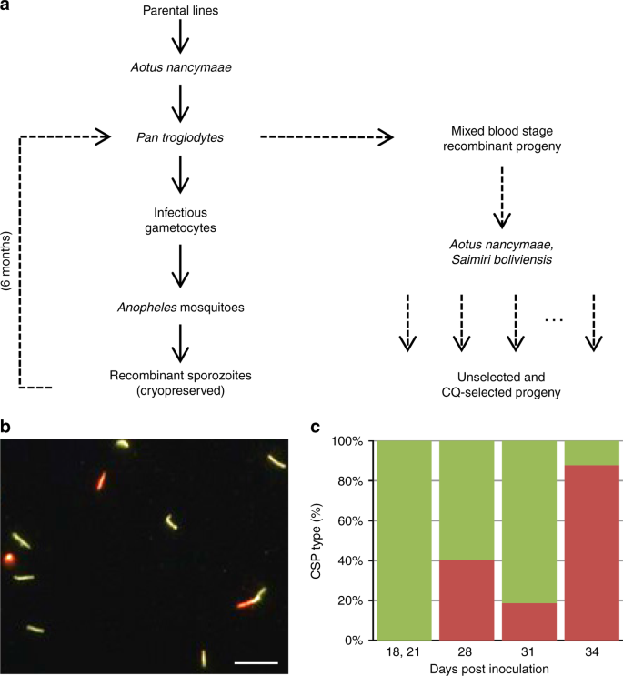 Plasmodium vivax chloroquine resistance links to pvcrt transcription i