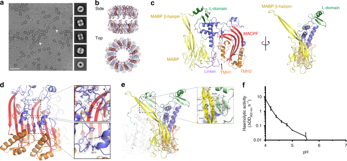 The cryo-EM structure of the acid activatable pore-forming immune effe