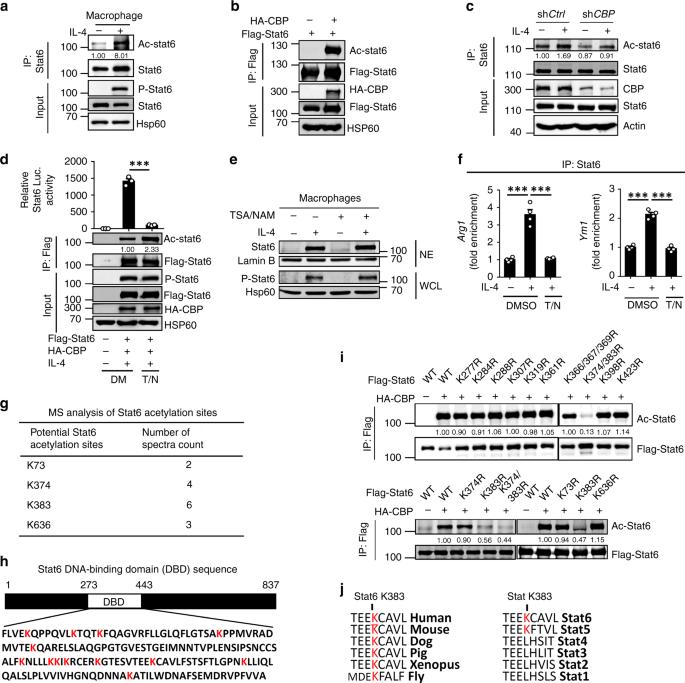Modulation of M2 macrophage polarization by the crosstalk between Stat