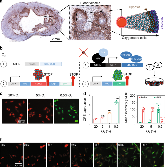 Fate-mapping post-hypoxic tumor cells reveals a ROS-resistant phenotyp