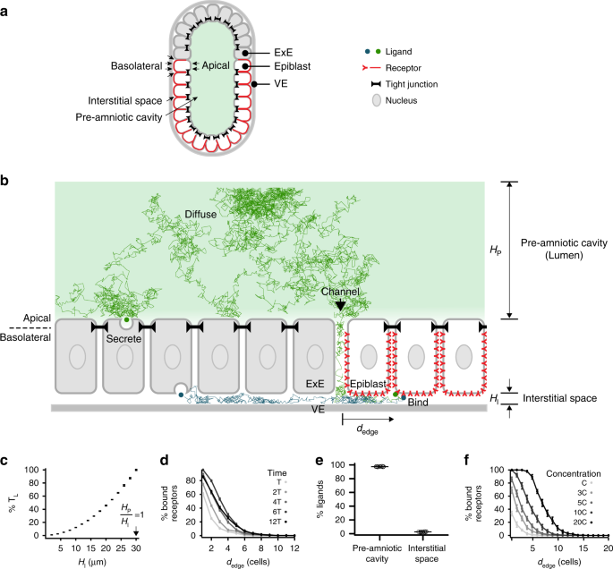 Mouse embryo geometry drives formation of robust signaling gradients  through receptor localization | Nature Communications