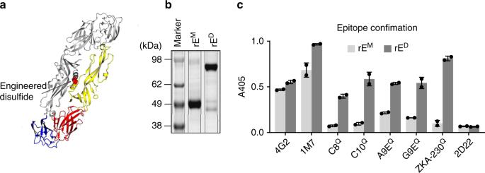 Oligomeric state of the ZIKV E protein defines protective immune respo