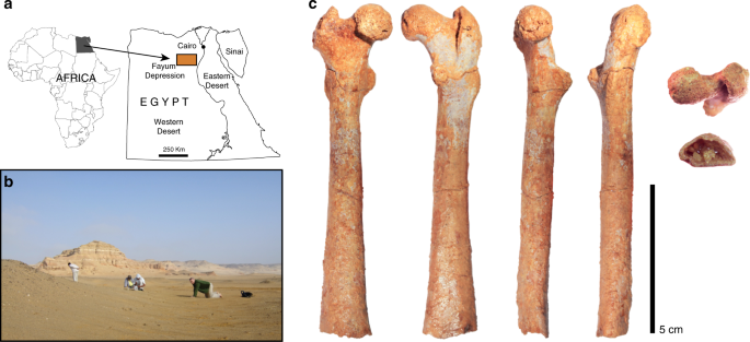 Early anthropoid femora reveal divergent adaptive trajectories in cata