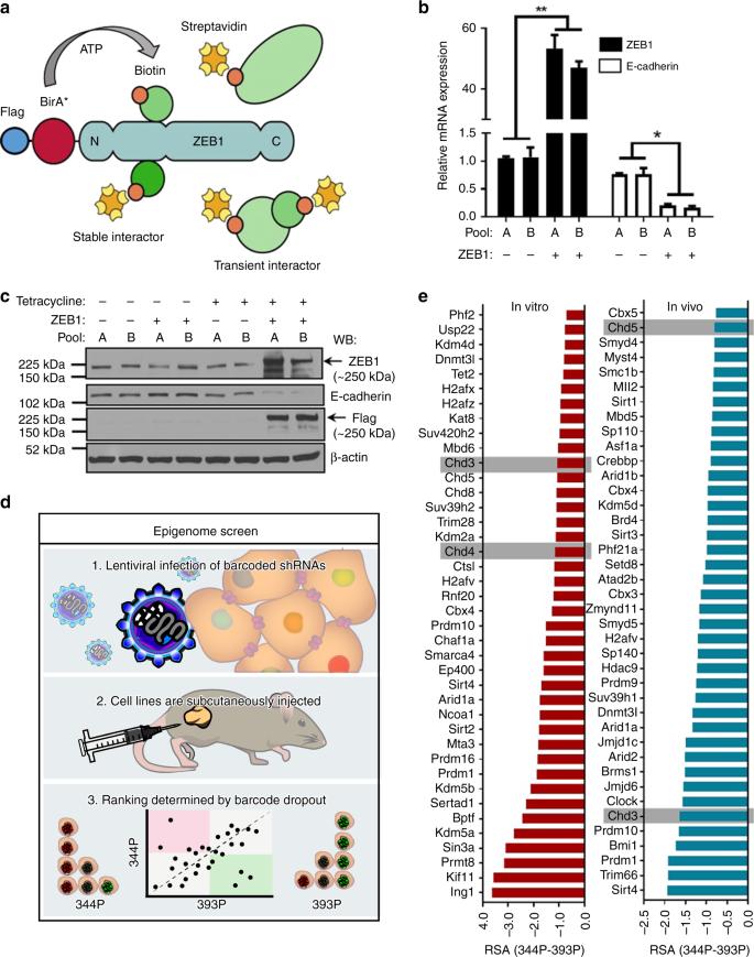 ZEB1/NuRD complex suppresses TBC1D2b to stimulate E-cadherin internali
