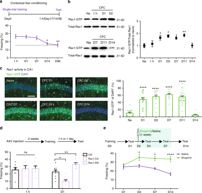 Interplay between α2-chimaerin and Rac1 activity determines dynam