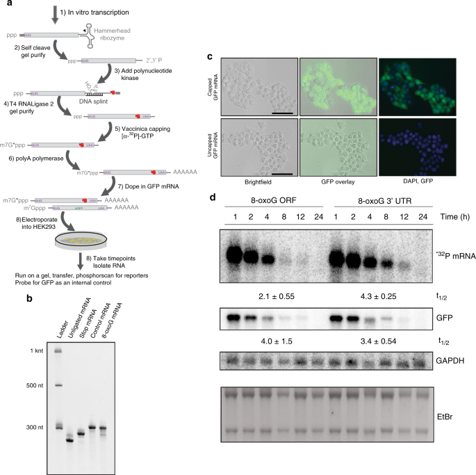 Oxidation And Alkylation Stresses Activate Ribosome Quality Control Nature Communications