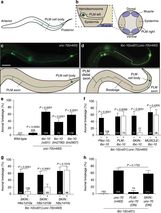 Epidermal control of axonal attachment via β-spectrin and the GTP