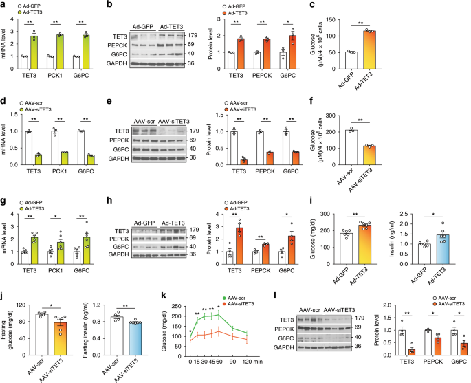 Hepatic TET3 contributes to type-2 diabetes by inducing the HNF4α
