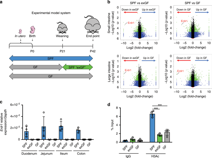Erythroid differentiation regulator-1 induced by microbiota in early l