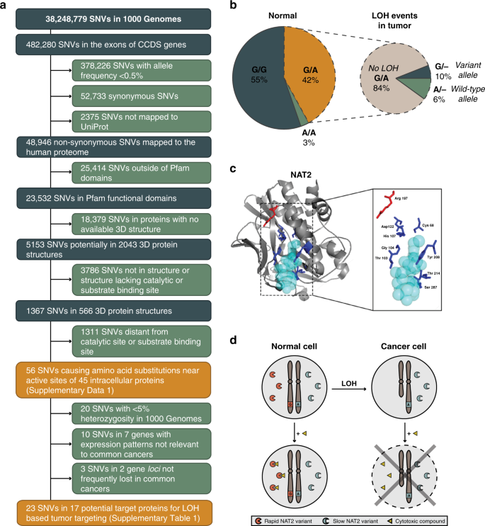 Exploiting Loss Of Heterozygosity For Allele Selective Colorectal Cancer Chemotherapy Nature Communications