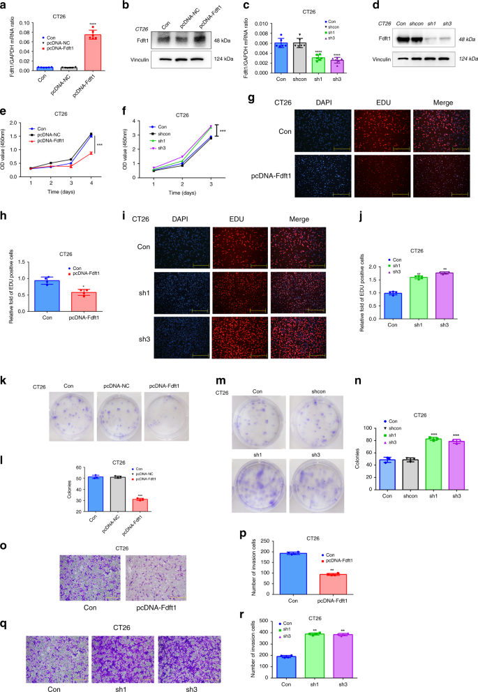 Fasting Inhibits Aerobic Glycolysis And Proliferation In Colorectal Cancer Via The Fdft1 Mediated Akt Mtor Hif1a Pathway Suppression Nature Communications