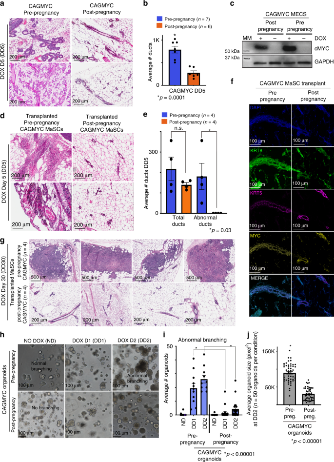 Pregnancy Reprograms The Epigenome Of Mammary Epithelial Cells And Blocks  The Development Of Premalignant Lesions | Nature Communications