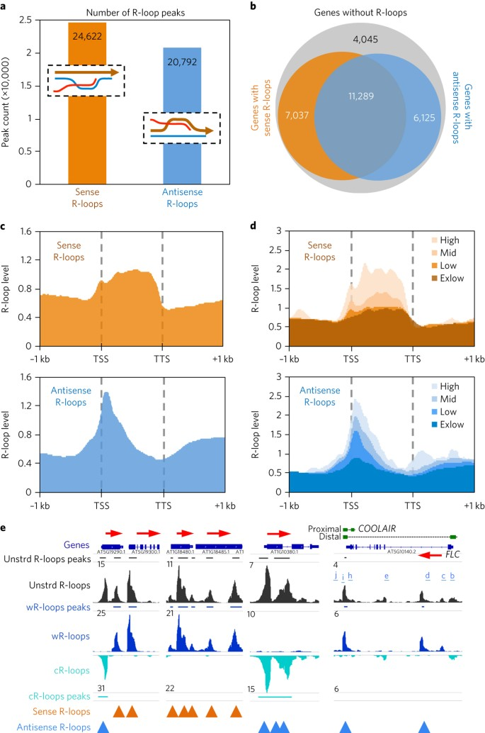 The R-loop is a common chromatin feature of the Arabidopsis genome
