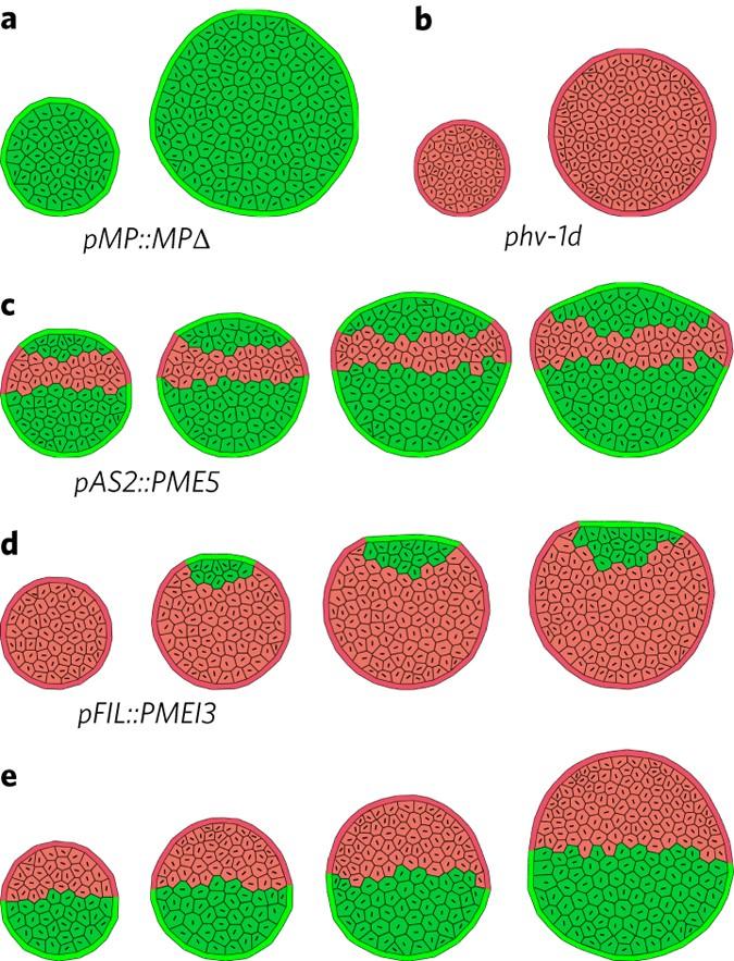 Mechanical regulation of organ asymmetry in leaves | Nature