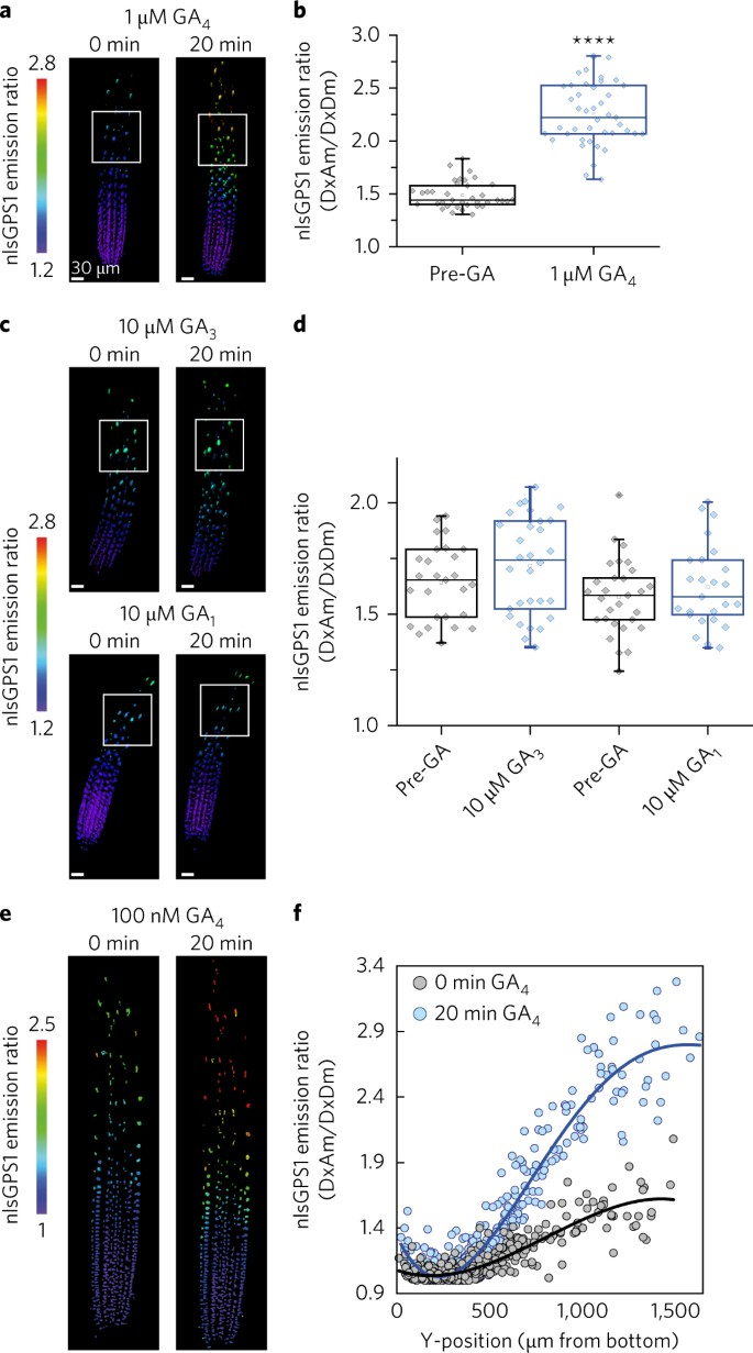 In vivo gibberellin gradients visualized in rapidly