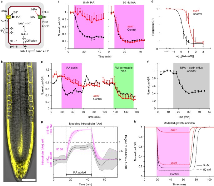 Rapid and reversible root growth inhibition by TIR1 auxin