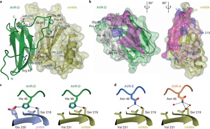 Polymorphic residues in rice NLRs expand binding and
