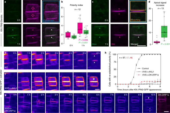 Mechanistic framework for cell-intrinsic re-establishment of PIN2 polarity  after cell division | Nature Plants