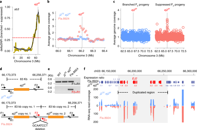 Duplication of a domestication locus neutralized a cryptic