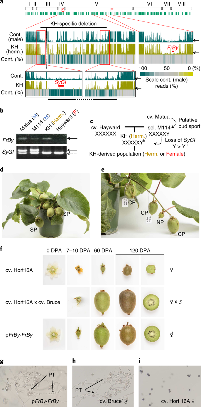 Two Y-chromosome-encoded genes determine sex in kiwifruit | Nature